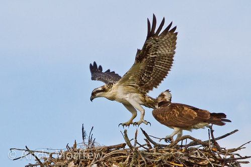 nest florida chick osprey marcoisland fledging tigertailbeach naturethroughthelens andymorffew morffew