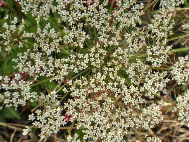 Sambucus nigra ssp. canadensis, Overton Co, TN