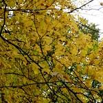 Golden yellow Autumn leaves