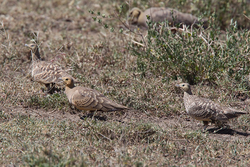 Yellow-throated Sandgrouse, Pterocles gutturalis saturiator | by jwsteffelaar