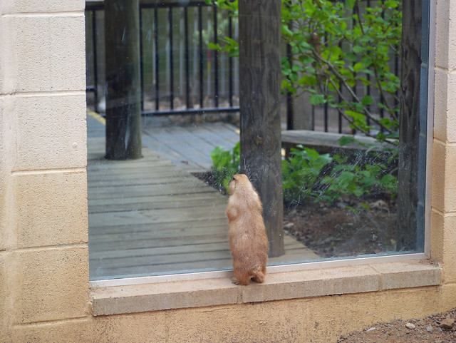 Looking out- prairie dog