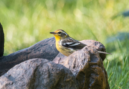 Blackburnian Warbler at my birdbath