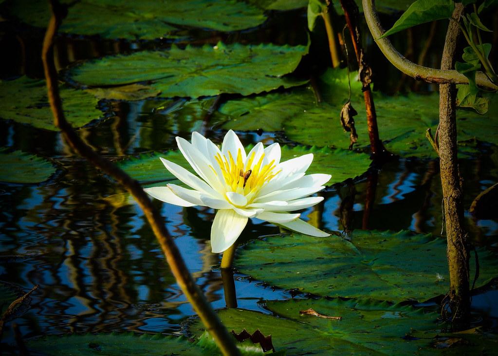 White Lotus National Flower Of India Sondip Sonal Flickr