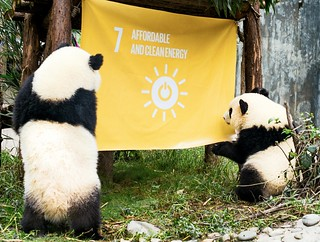Global Goals Panda twins inspect a flag raised at the Chengdu Research Base of Giant Panda Breeding in China as part of teh SGS events | by United Nations Development Programme