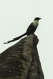 White-necked Myna - Sulawesi_MG_4029