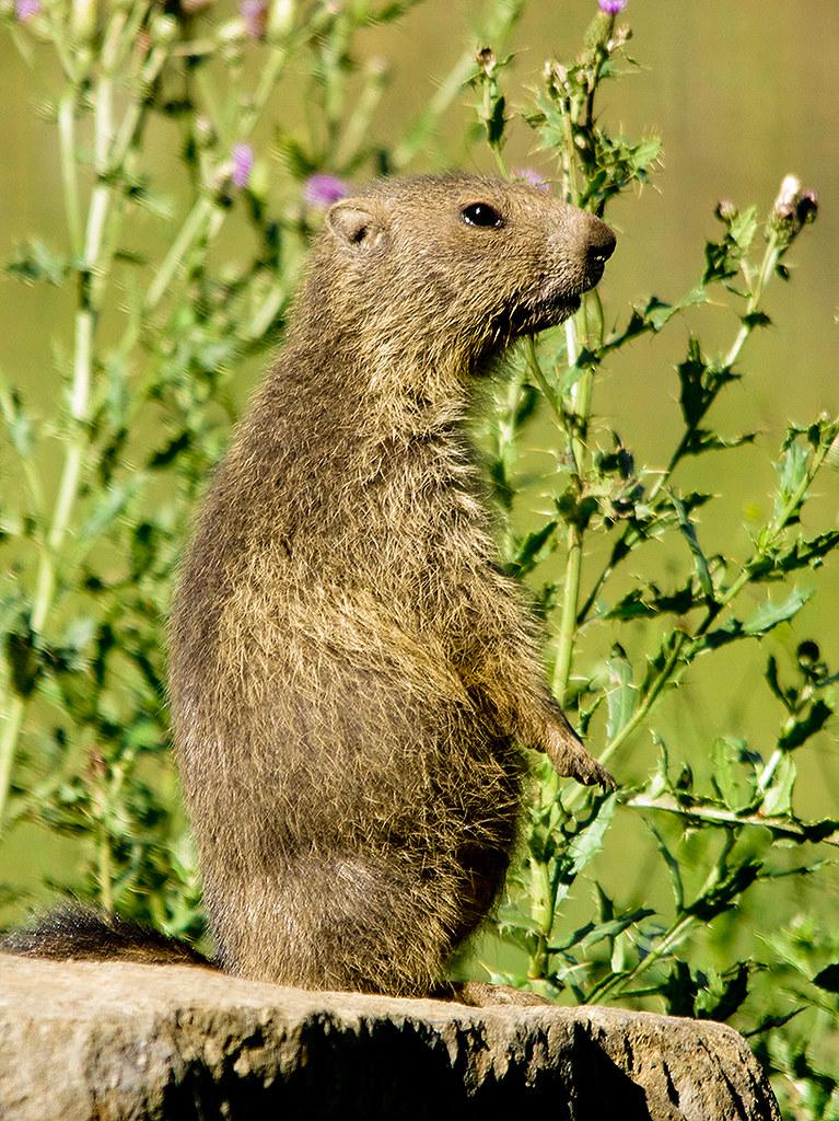 Marmota meditant / Absent marmot