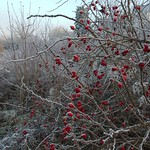 rosehips and track