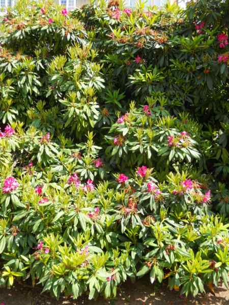 Rhododendron x 'Tina Heinje' v 2
