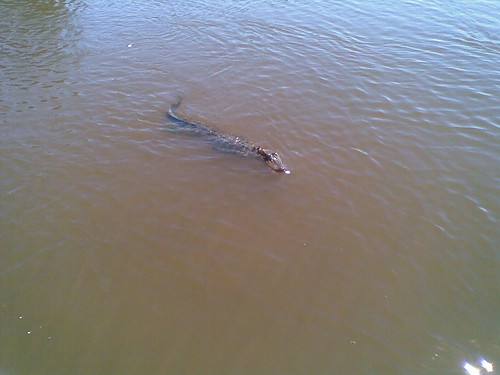 Alligator in the Louisiana swamp | by middlerun