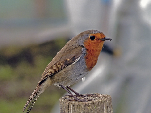 Rocking Robin.