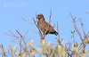 Brown Snake Eagle - Circaetus cinereus by Craig Pitchers