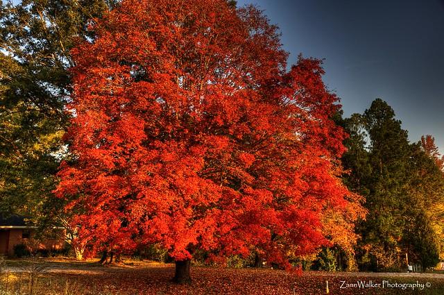 Tupelo in Autumn 02