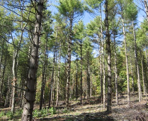 Only good-quality trees were retained as part of the thinning. These residual trees will benefit from and increase in resources (sunlight, water, nutrients) and will experience much higher growth rates now.