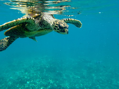 Meeting a tortle during a snorkeling excursion | by jerome lallement