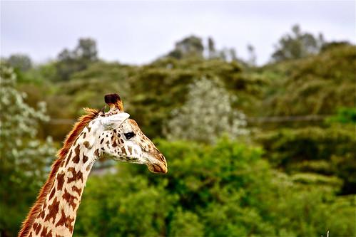 park trees up canon neck aj high close personal kenya nairobi profile safari national girafe brustein 50d