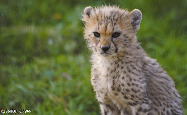 Cheetah Cub 03/10/2011