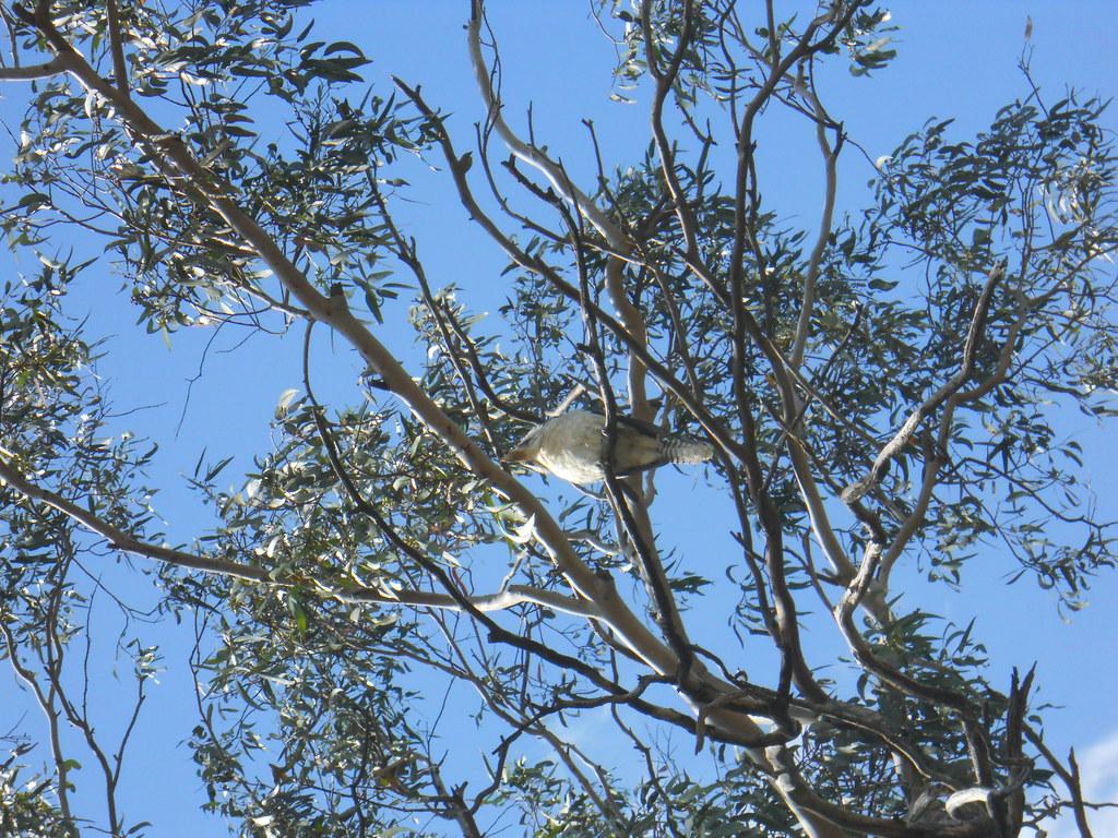 Kookaburra Abbotsbury NSW 2011
