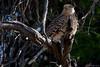 Greater Kestrel (Falco rupicoloides) by jrothdog
