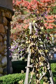 Hyacinth Runner Bean