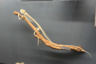 Museum of Osteology - Common Iguana Skeleton