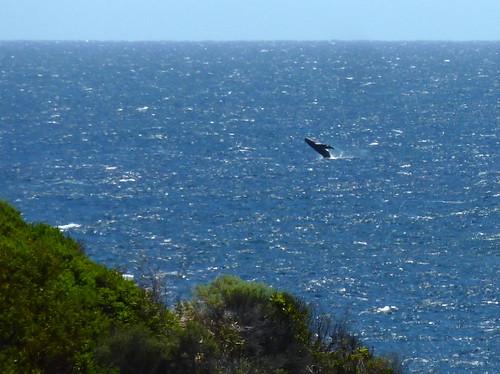 Western Australia - Margaret River - Prevelly Park - whale