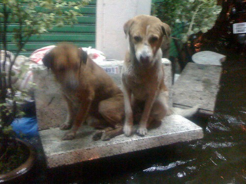 18:30 2 dogs sit on a bench, confused by the rising waters (Mochit/JJs junction) #thaifloodeng | by gordon.b.anderson