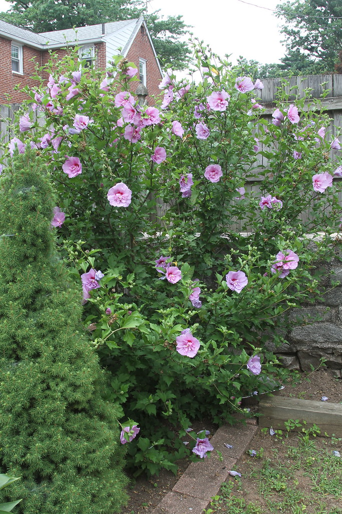 Rose of Sharon (Hibiscus syriacus)
