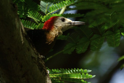 Jamaican Woodpecker | by Dave 2x