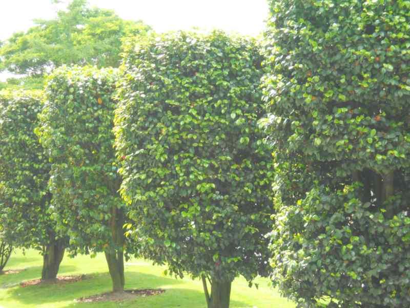 Camellia japonica 'Elegans' 5