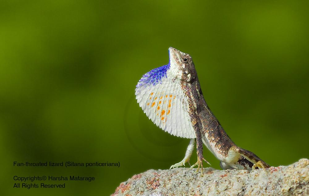 Fan-throated lizard (Sitana ponticeriana)
