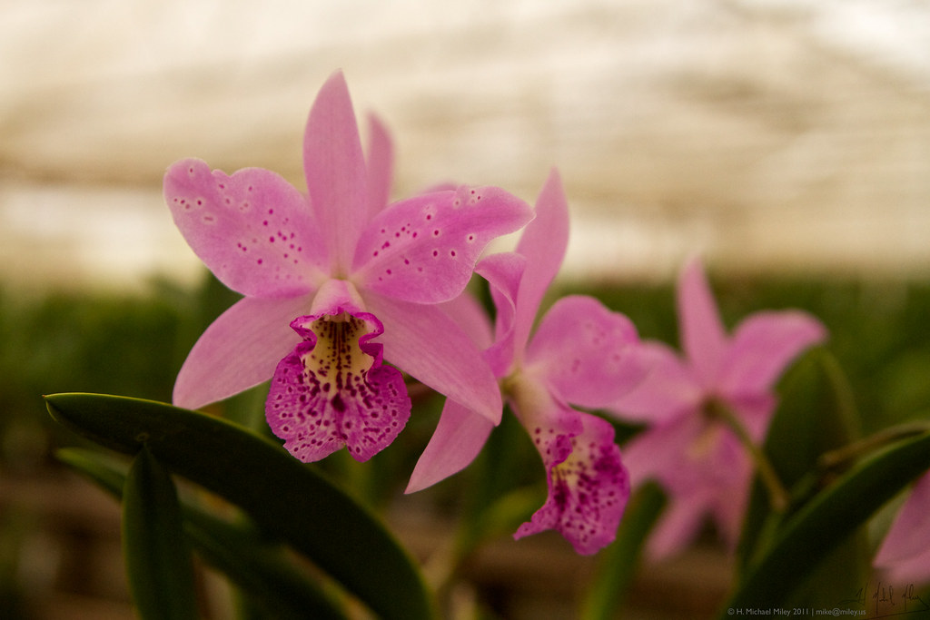 Shopping for Orchids 18