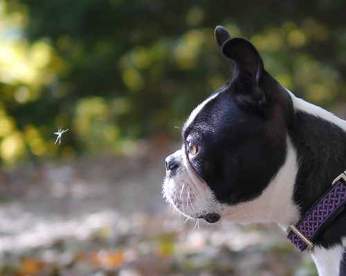 Mosquito vs Boston Terrier | by Silbersurfer
