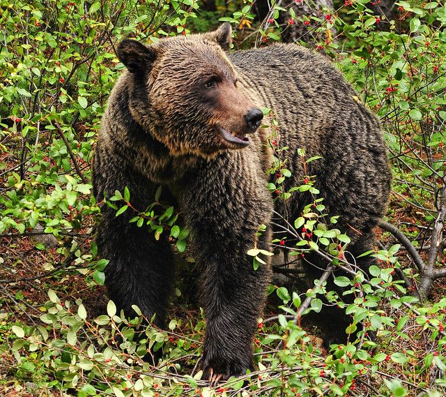 Grizzly in the Berries