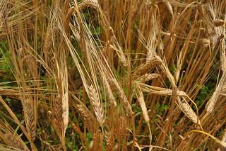 CBC_Barley_Field_1 | by Cambridge Brewing Co.