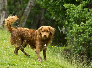 Little Red River Dog By Pixellie Nova Scotia Duck Tolling Flickr