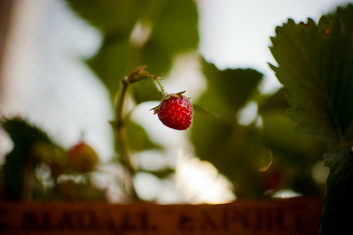 Strawberry | by Francois Peeters