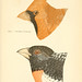 Handbook of the sparrows, finches, etc., of New England