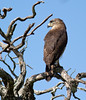 Southern Banded Snake -Eagle. by Nydiaso.