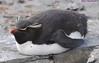 Rockhopper Penguin Eudyptes chrysocome DSC_0737 by Mary Bomford
