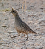 Scaled Quail - male by NatureNM