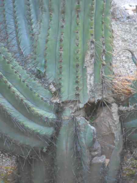 Trichocereus schikendantzii v 3