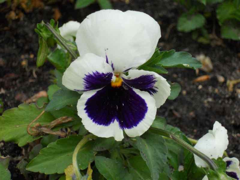 Viola x witrockiana 4