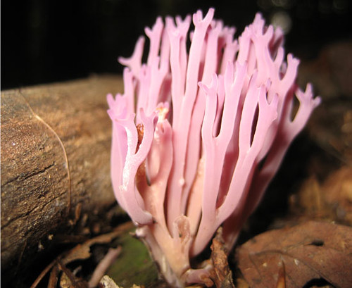 Purple coral fungus in Indian Valley