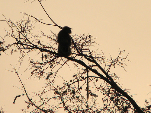 Indian Langur Look-out At First Daylight In Goa