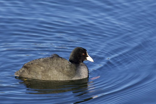 Fulica atra - Common Coot | by Marc Nollet