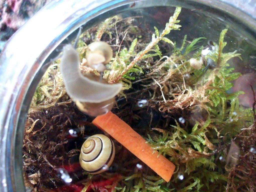 Snail Terrarium Snails A Carrot D Collected So Many Sna Flickr