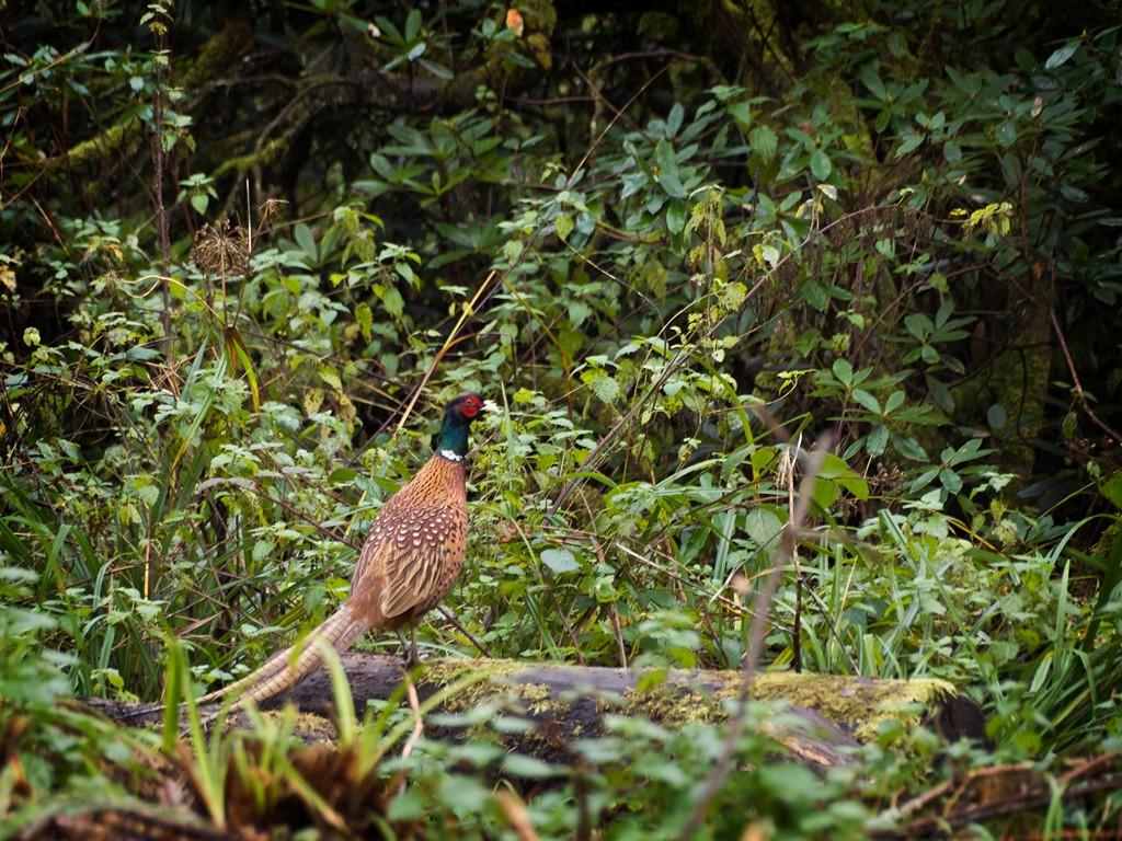 Pheasant near Wakehurst Place SWC34_20101113_11_DxO_1024x768