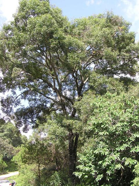 Quercus acutifolia Née 1801 (FAGACEAE)