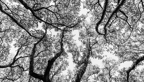 texas houston locallandmark touristattraction 2016 trees blackandwhite intimatelandscape mabrycampbell southblvd oaktrees nature image photo fav10 fav20 fav30 fav40 fav50 fav60 fav70 fav80