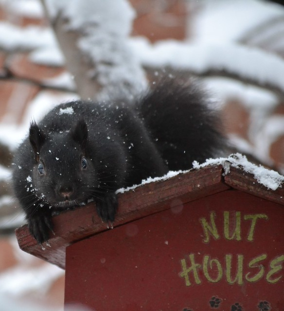 Black Squirrel Guarding The Nut House On A Snowy Day
